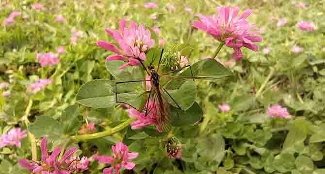 Çayır sineği ile ilgili açıklama