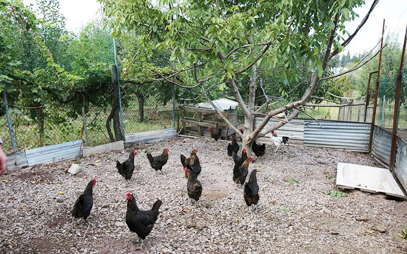 Çiftçiye 20 bin tavuk desteği