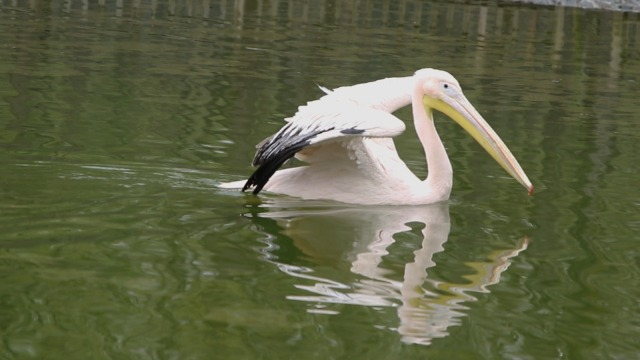Pelikanlar, Ormanya'ya renk kattı