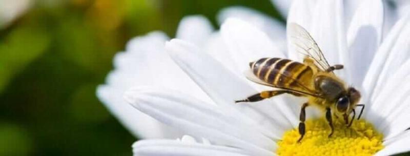 Arı Sokması Ölüme Neden Olur Mu