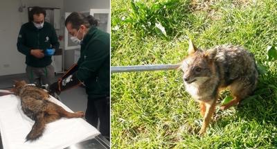 Kaza geçiren tilki tedaviye alındı